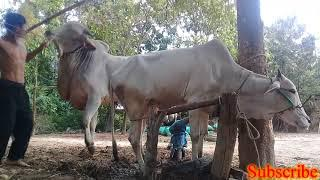 Wow Amazing Man Breeding Cow How To Breds Cows How to breed cows